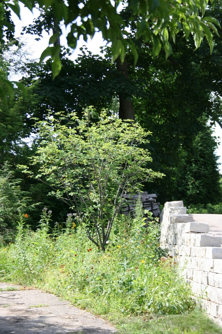 Serviceberry in native garden