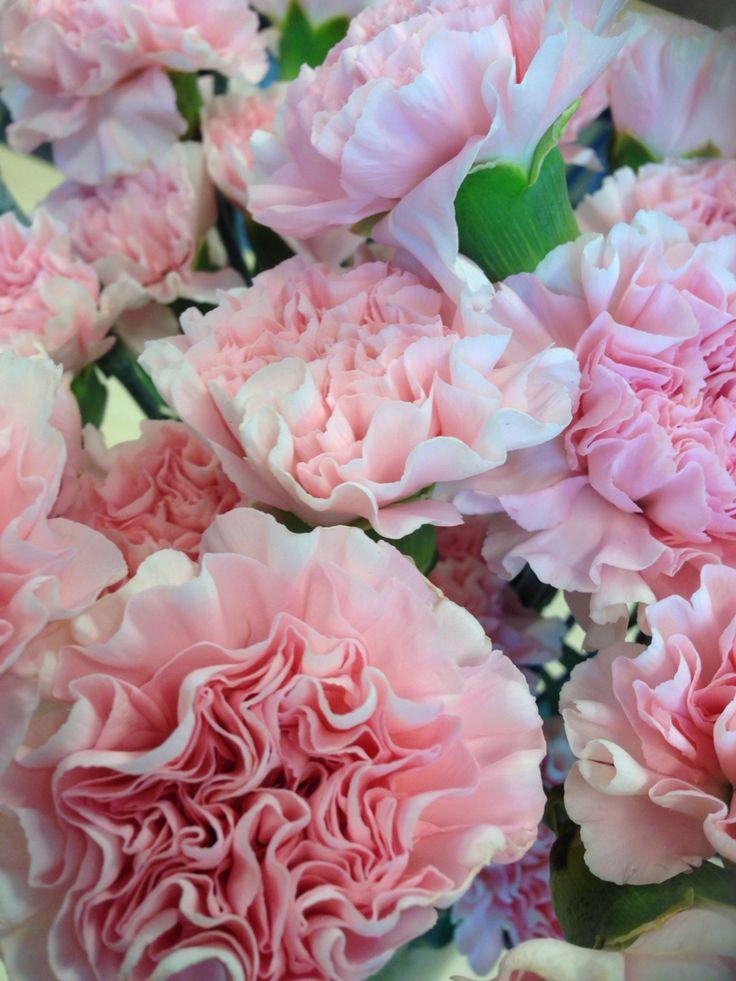 Lys rosa nellik - Dianthus