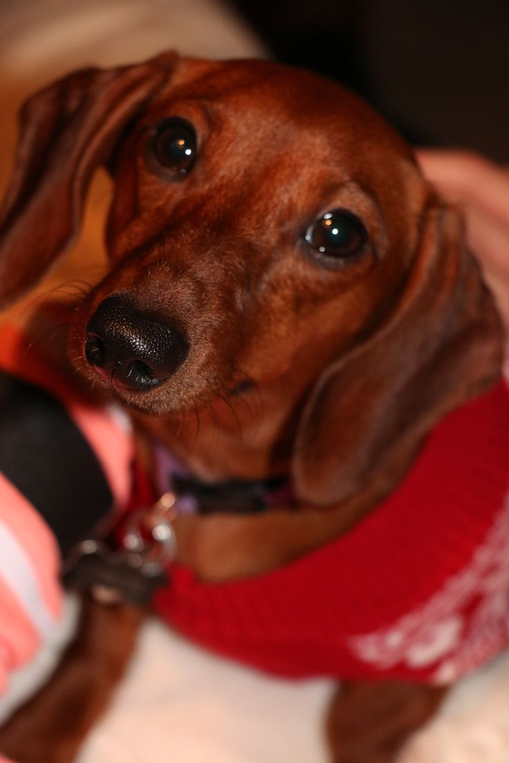 Our sweet Chloe in her dog Christmas Sweater! Red Short-haired Dachshund, Doxie, Weiner Dog, Hound, Burrow Dog, Short-legged Dog.