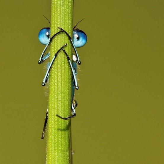Peek-a-bug! Eyes can see you!..This damselfly thought it had cleverly hid itself behind a blade of grass at a British lake - but it failed to realise its eyes could be seen poking out either side. The bright blue bug concealed its two-inch-long body and transparent wings by clinging onto the grass with its black legs..But photographer Tony Flashman spotted the common blue damselfly's piercing eyes at Fordwich Lakes, Kent