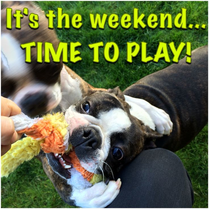 Boston Terrier Friday Meme