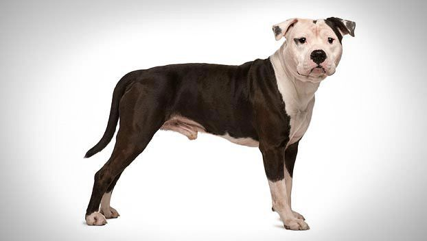 American Staffordshire Terrier Guide  This stocky dog should be muscular, giving the impression not only of great strength for its size but also of grace and agility. Its gait is springy. Its low center of gravity helped it stay on its feet in a fight, and its nimbleness helped it avoid its opponent's teeth. Its own jaws are strong with great power. Its coat is short, close and glossy.