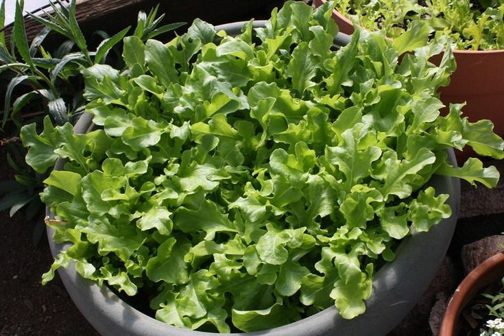 Lettuce - Green Salad Bowl - Lactuca sativa - Microgreens/Baby Leaf ready for harvest in 28 days !
