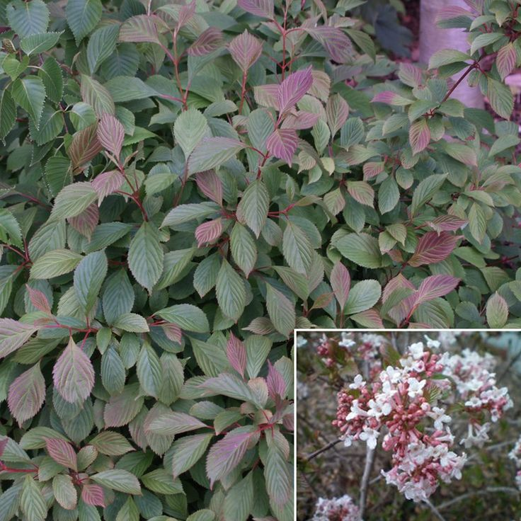 1000 Images About Shrubs Shade On Pinterest Gardens
