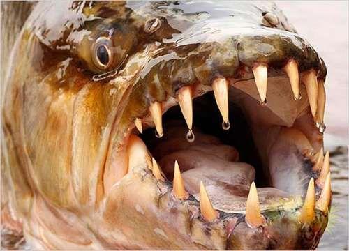 Самая опасная пресноводная рыба.Голиаф