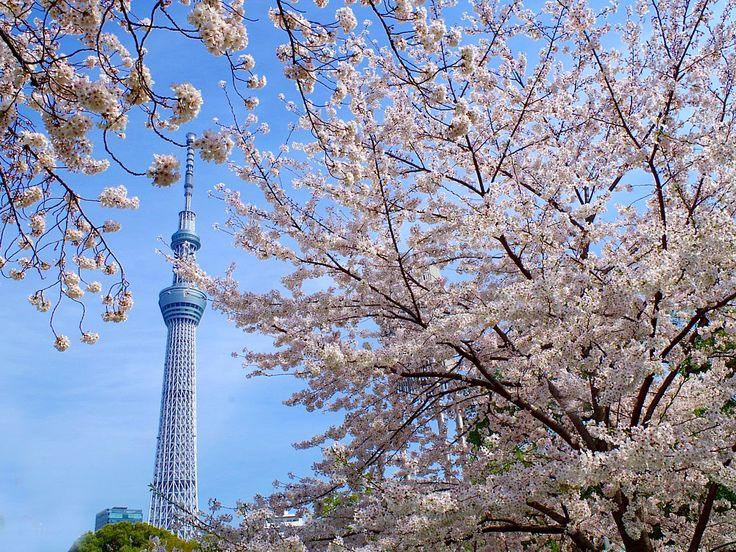 sakura.jpg  http://www.jnize.com/en/article/100000034/