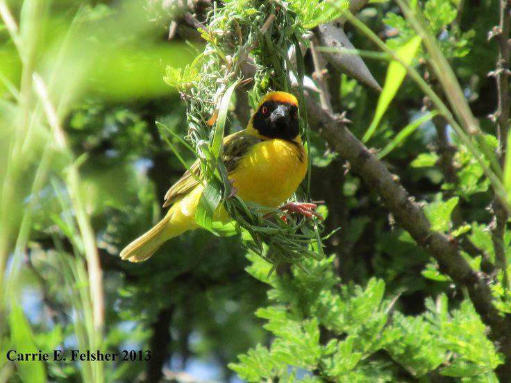 Village Weaver Bird (building nest). Photo by Carrie Felsher 2013. Dinokeng Reserve, Gauteng, in South Africa.
