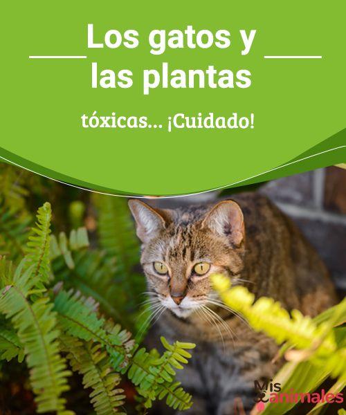 Los gatos y las plantas tóxicas... ¡Cuidado!  En este artículo te vamos a hablar de los gatos y las plantas tóxicas, así evitarás que tu gato sufra un envenenamiento.