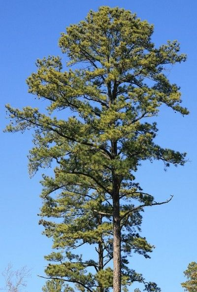 Loblolly Pine Tree Care: Loblolly Pine Tree Facts And Growing Tips - If you are looking for a pine tree that grows fast with a straight trunk and attractive needles, the loblolly pine may be your tree. It is a fast-growing pine and not difficult to grow. For tips on growing loblolly pine trees, this article will help.