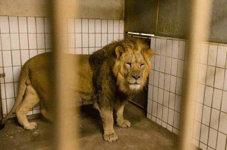 Due leoni anziani e due cuccioli soppressi allo zoo di Copenaghen