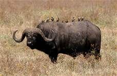 buffalo - 必应 Bing 图片