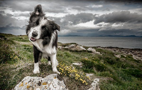 Download Wallpaper With Tags Border Collie Dogs Animals Free Picture Image And Photo Desktop Wallpapers For Pc Tablet M Pet Dogs Dog Photos Border Collie