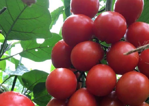 ミニトマトの育て方 〜苗の植え付け編〜 | LOVEGREEN(ラブグリーン)