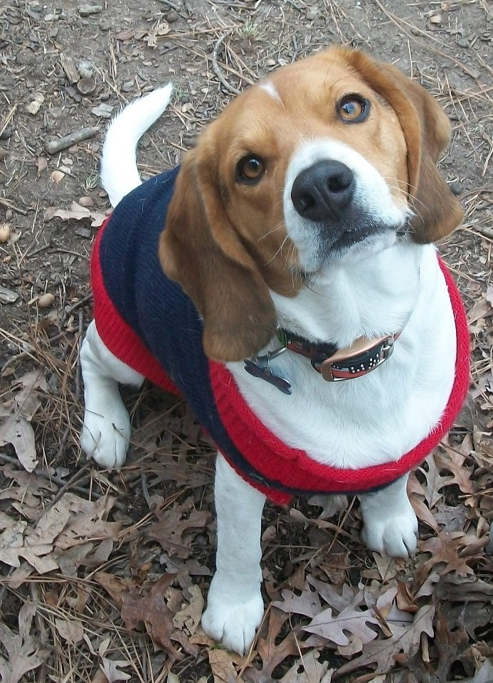 """Scooby is in a Facebook photo contest...please click photo and """"like"""" on FB Beagle Rescue page to vote :) thanks!......lots of other cute Beagles too! only one vote per photo accepted, but can like more than one."""