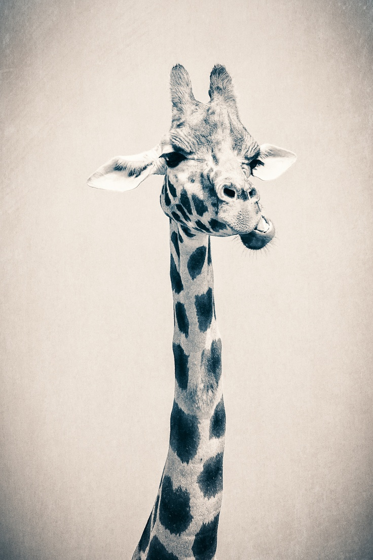 It's Okay To Want Me, Baby.  (by Kelli Seeger Kim)Animal Kingdom, Seeger Kim, Inference Animal, Giraffes Obsession, Inter Jungles, Bi Kelly, Favorite Animal, Animal Box, Kelly Seeger