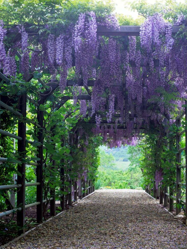 Heavyweight Wisteriashow less A strong framework, such as that of this solidly built pergola, is needed to support the weight of the elegant, but vigorous, wisteria