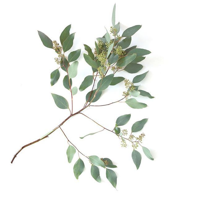 Love the smell of eucalyptus leaves 🌿