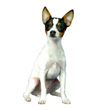 The Toy Fox Terrier is lively, active, inquisitive and alert. They have moderate exercise needs and need to be taken for daily walks. Toy Fox Terriers are usually friendly towards other dogs, pets and children. They are intelligent and want to please, but may be stubborn or independent if they are not trained well.
