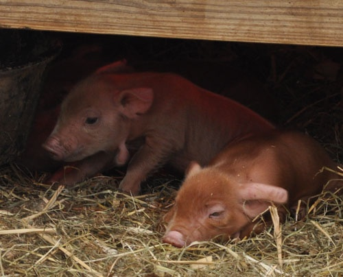 Red Wattle piglets from a local sustainable farm. Read about them here: https://www.iusb.edu/csfuture/blog/?cat=24