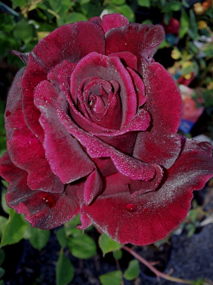 GUINEE – Large flowered Climbing Rose with the darkest black-red roses of all the climbing roses available | All About Roses