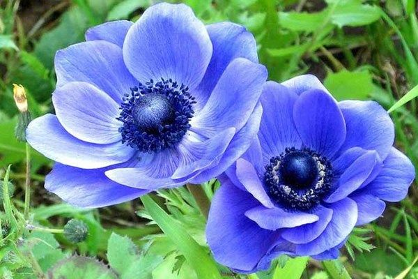 Anemone Coronaria Blue Poppy Features Satiny Violet Blue Poppy Like Flowers Adorned With A Dark Button Center Bloomin Blue Poppy Anemone Botanical Flowers