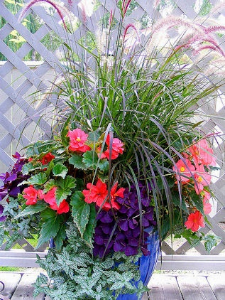 Part shade fountain grass tuberous begonia purple for Fountain grass for shade