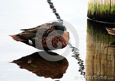 Download Male Chestnut Teal Duck Stock Photo for free or as low as A$0.24AUD. New users enjoy 60% OFF. 20,414,305 high-resolution stock photos and vector illustrations. Image: 36146170