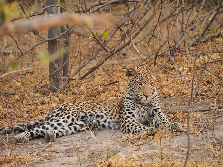 Leopard resting. Khwai River Lodge. Botswana