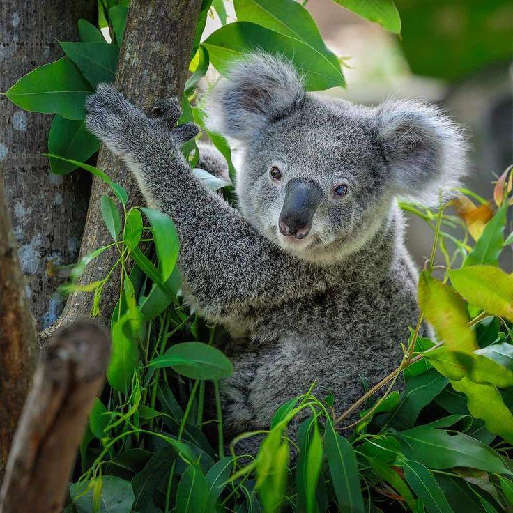 коала на бамбуке картинки было узнать