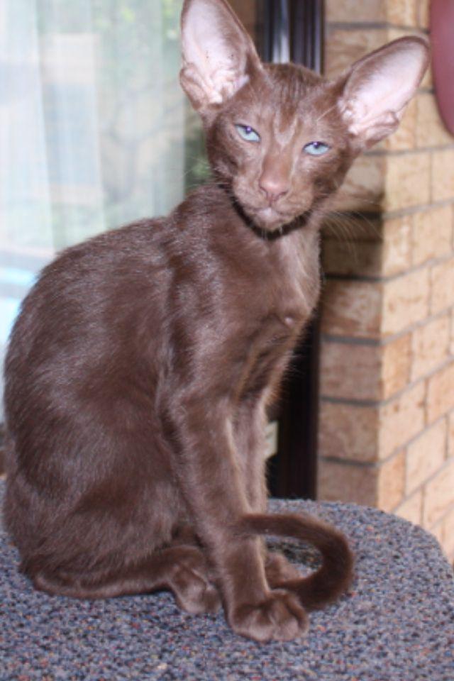 Baby Sebbie - oriental cat