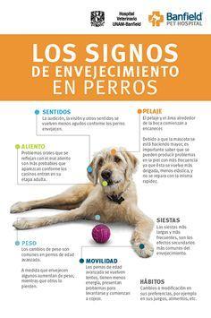 Identifica signos de envejecimiento en tu #perro. #BanfiedTips #DueñoResponsable