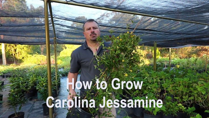 #VR #VRGames #Drone #Gaming How to grow Carolina Jessamine with a detailed description Carolina Jasmine, Drone Videos, evergreen vine, fast growing plants, fragrant flowers, gardening, Jasmine, Jessamine, landscaping, low maintenance plants, native plants, swamp jasmine, vining plants, yellow flowers #CarolinaJasmine #DroneVideos #EvergreenVine #FastGrowingPlants #FragrantFlowers #Gardening #Jasmine #Jessamine #Landscaping #LowMaintenancePlants #NativePlants #SwampJasmine #