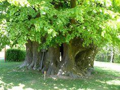 Tipos de árboles de hoja perenne - http://www.jardineriaon.com/tipos-de-arboles-de-hoja-perenne.html