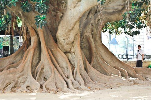 super old trees in the heart of Valencia - Spain