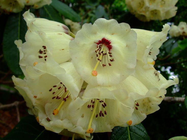 https://flic.kr/p/T4ME5m | Rhododendron | www.youtube.com/user/yewmchan/videos