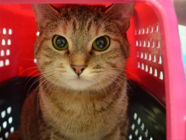 SAGE - 11091 - - Brooklyn  ***TO BE DESTROYED 11/02/17***POOR SAGE IS OUT OF TIME….OFFER YOUNG TABBY CHANCE TO LEAD HAPPY LIFE! *The Wise Kitty SAGE NEEDS FOLLOW UP VET CARE FOR MAMMARY GLAND TUMORS!*She is a very young girl so there's a good chance tumors are not malignant. But she needs a chance. Needs her rescue angel. Grab your cape and be Sage's hero by offering to foster or adopt. ONLY HAS TIL NOON TOMORROW! -  Click for info & Current Status: http