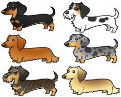 Doxie types