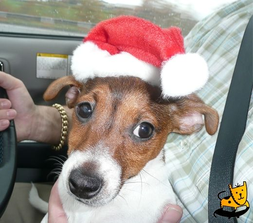 Chester the Jack Russell in Santa hat