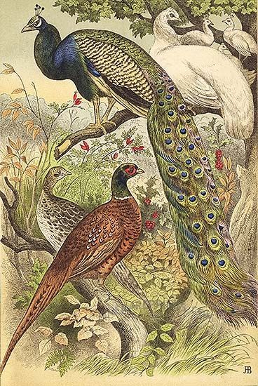 Genuine antique print of Peacock, Pea Hen and Pheasants 1877