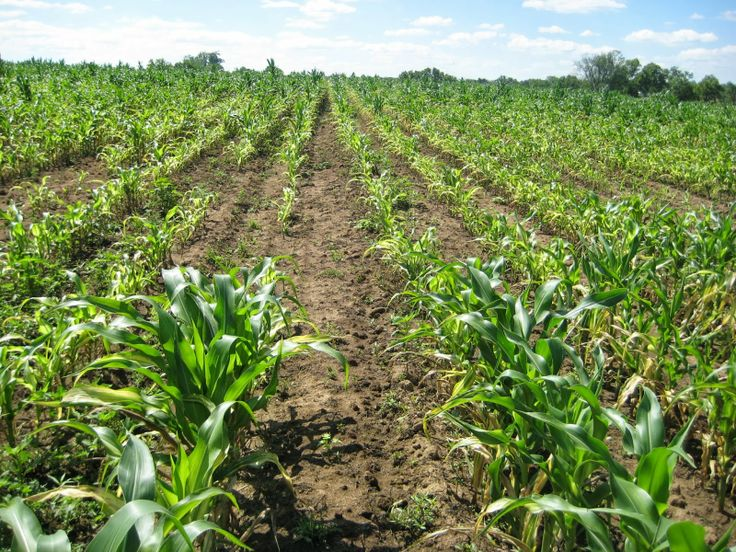 Checking for Soil Compaction  - Crop yields may be limited by soil compaction. Subsoiling is the most common method used to alleviate soil compaction, but is a time consuming and costly operation. If soil compaction is suspected, it is best to identify the areas in the field where it exists, what depth the compaction begins, and what depth the compaction ceases.