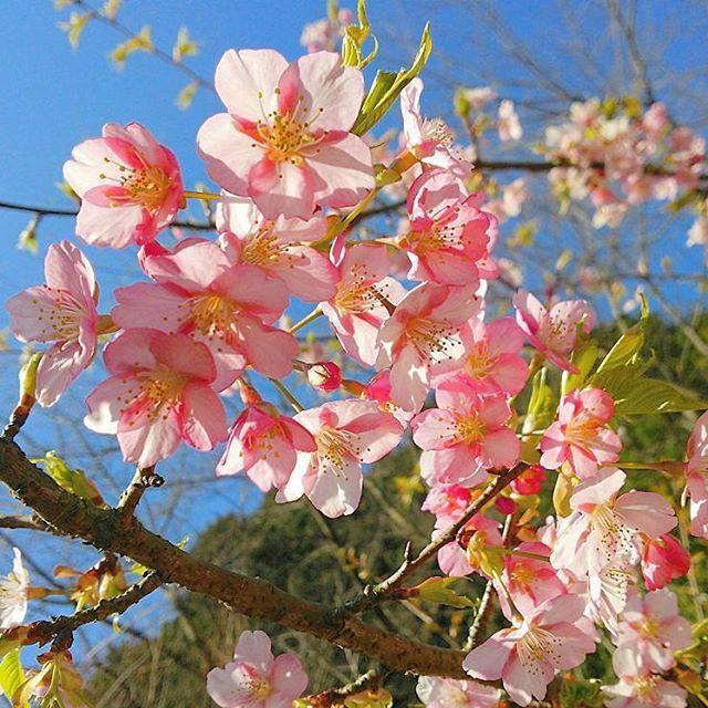 【hakuhaku.bomber】さんのInstagramをピンしています。 《昨年の「西条市市民の森」の河津桜🌸🌸🌸 #過去pic #西条市市民の森 #河津桜 #桜 #青空 #花 #はなまっぷ #愛媛県 #西条市 #花好きな人と繋がりたい #写真好きな人と繋がりたい #kawazuzakura #cherryblossom #bluesky #flower #hanamap #ehime #japan #japanlives #saijyou #livejapan #instagram #instagood #instagramjapan》