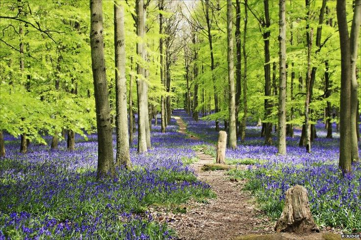 Spring bluebells in southern England  #nature #woods #flowers #forest #trail