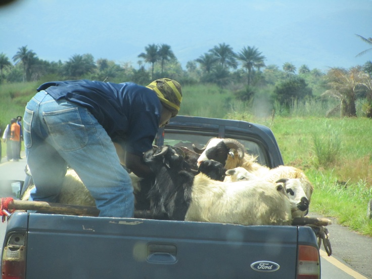 YMCA of Sierra Leone, local transports goats in the back of his truck