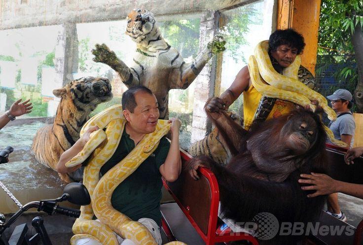 フィリピン・マニラ(Manila)郊外のマラボン動物園(Malabon Zoo)で、三輪電気自動車(EV)のプロモーションのため、飼育しているオランウータンとアルビノ(先天性色素欠乏症)のニシキヘビを乗せて園内を走り、ベンガルトラと記念撮影するオーナーのマニー・ティアンコ(Manny Tiangco)さん(2014年7月12日撮影)。(c)AFP/Jay DIRECTO ▼13Jul2014AFP|三輪EV車で大気汚染対策、フィリピン動物園で販促活動 http://www.afpbb.com/articles/-/3020400 #Malabon_Zoo