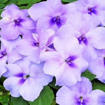 Impatiens Lavender