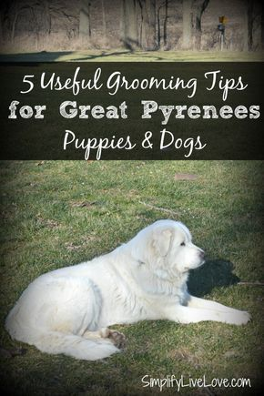These tips and tricks for coat, teeth, nails, and ears will help you take the best possible care of your Great Pyrenees Puppies! #BayerExpertCare