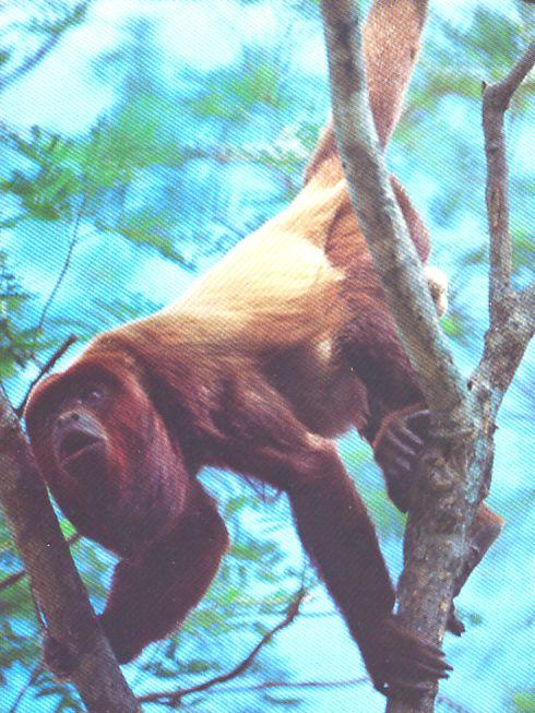 mono aullador rojo (Alouatta seniculus) que mide metro y medio de largo (incluyendo la cola, que constituye el cincuenta por ciento de su longitud) Tiene un tupido pelaje castaño rojizo con reflejos dorados.  Este platirrino pertenece al grupo de los micetos o monos aulladores y, como su nombre sugiere, defiende su territorio a base de alaridos ensordecedores. Su característica morfológica más notable es un hueso en forma de gancho (el hioides) que está situado entre la base de la lengua y…