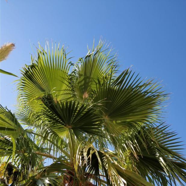 Mallorca: Palmen  und Himmelblau