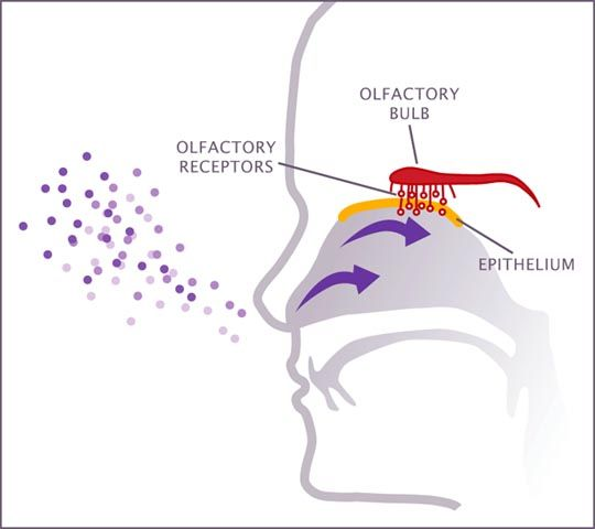 diagram of smell