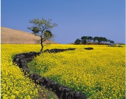 Jeju island 제주도 유채꽃밭